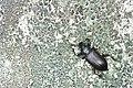 Coleoptera (28935985445).jpg