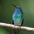 Colibri thalassinus Monteverde 05.jpg