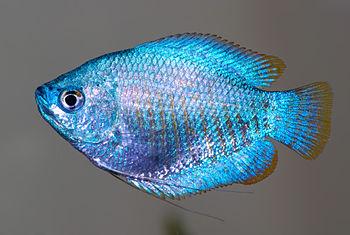 This image shows a Dwarf Gourami female (Colis...