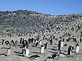 Colony of Adelie Penguin at Cape Royds.jpg