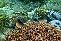 Colorful underwater world, Mabini Batangas - panoramio (1).jpg
