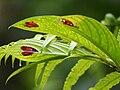 Columnea consanguinea (foliage).jpg