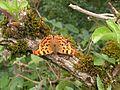 Comma butterfly adult.jpg