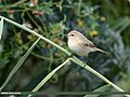 Common Chiffchaff (Phylloscopus collybita) (44144509660).jpg