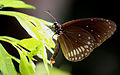 Common Crow (Euploea core).JPG