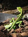 Common Green Forest Lizard (Calotes Calotes).jpg