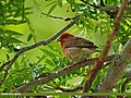Common Rosefinch (Carpodacus erythrinus) (28044392826).jpg