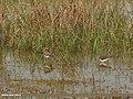 Common Snipe (Gallinago gallinago) & Green Sandpiper (Tringa ochropus) (34250422326).jpg
