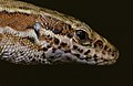 Common Wall Lizard (Podarcis muralis) close-up (10255244204).jpg