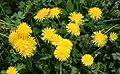 Common dandelion 2021 G1.jpg