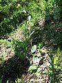Conringia austriaca sl10.jpg
