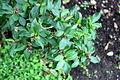 Conservatoire botanique national de Brest-Achyanthes arborescens-15 07 04 CP-01 (20032334208).jpg