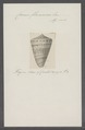 Conus flammeus - - Print - Iconographia Zoologica - Special Collections University of Amsterdam - UBAINV0274 086 02 0038.tif