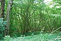 Coppiced trees in the woods - geograph.org.uk - 2097807.jpg