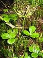 Coptis trifolia 7.JPG