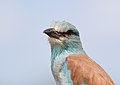 Coracias garrulus (Coraciidae) (European Roller) - (adult), Kruger National Park, South Africa.jpg