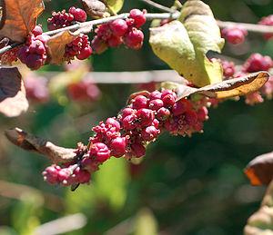 Symphoricarpos - Image: Coralberry