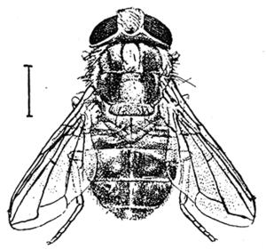 Cordylobia anthropophaga - Adult