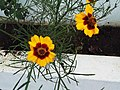 Coreopsis tinctoria-xavier cottage-yercaud-salem-India.JPG