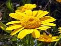 Corn Marigold (Glebionis segetum) (8141582342).jpg