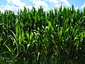 Corn in Goodrich, Michigan.JPG