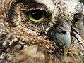 Coruja-buraqueira (Athene cunicularia) - Burrowing Owl.jpg
