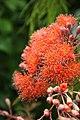 Corymbia Baby Orange.jpg