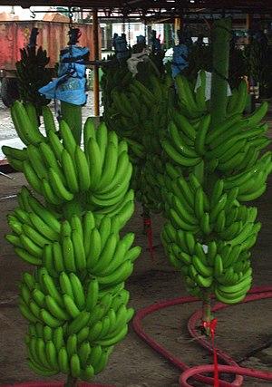 Costa Rican banana bunch