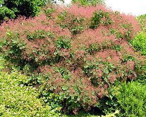 Vértes Hills - Image: Cotinus coggygria 2006 06 29