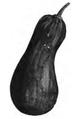 Courge pleine de Naples Vilmorin-Andrieux 1883.png