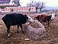 Cow Trough (5324579570).jpg