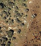 Cows in a field, Israel (395464322).jpg