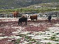 Cows on the beach at Halaman Bay - geograph.org.uk - 1500261.jpg