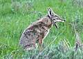 Coyote Yawn 1 (51497966978).jpg