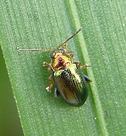 Crepidodera-aurata-Willow-flea-beetle-20101103a.JPG