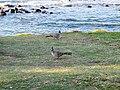 Crested pigeon.jpg