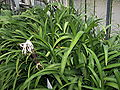 Crinum purpurascens 002.jpg