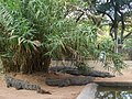 Crocodiles in Amaravathi Crocodile Farm.jpg