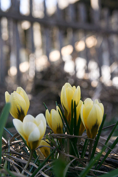 File:Crocus Buds Flowers March 16, 2010.jpg