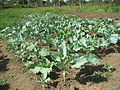 Crops fertilized with urine (3440745415).jpg