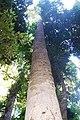 Cryptocarya erythroxylon Comboyne.jpg
