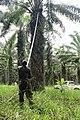 Cueillette de régime de palme 2.jpg