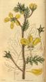 Curtis's Botanical Magazine, Plate 3057 (Volume 58, 1831).png