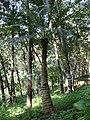 Cycas circinalis in Kudayathoor.jpg