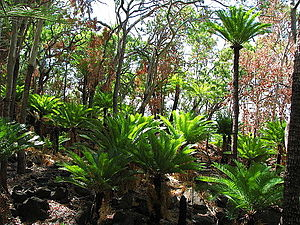 Cycas media - Grove of Cycas media in north-east Queensland,  newly re-foliated during the dry season after a bushfire
