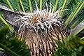 Cycas revoluta 25zz.jpg