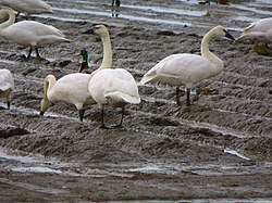 The Trumpeter Swan (Cygnus buccinator) is the largest bird of North America
