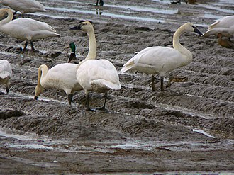 Trumpeter swan - In winter, they may eat crop remnants in agricultural fields, but more commonly they feed while swimming