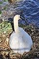 Cygnus olor (Küken) - Arboretum 2011-05-28 17-42-24.jpg