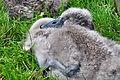 Cygnus olor (Küken2) - Arboretum 2011-07-15 17-38-40.JPG